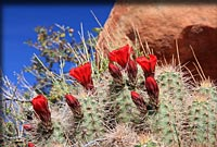 Cactus flowers in Arches National Park